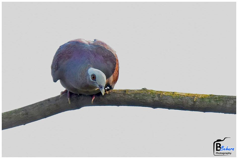 Pale-capped Pigeon at Mangalajodi Odisha